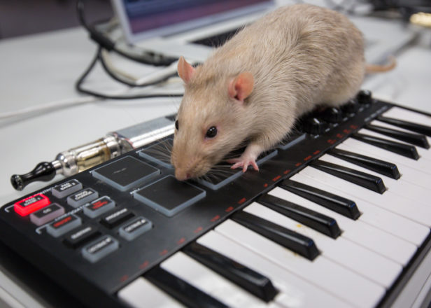 TEMPE - Dec. 17, 2015 - ASU Now - Ratsputin - Izo walks over a MIDI keyboard as Digital Culture in Music juniors Andrew Sanchez and Jennifer Anderson prepare for a Ratsputin musical performance of his two rats, Izo and Gus, in a lab in the Stauffer building, on Thursday, Dec. 17, 2015. The rats walk on four connected iPads, which produce synthesized sounds. Photo by Charlie Leight/ASU Now